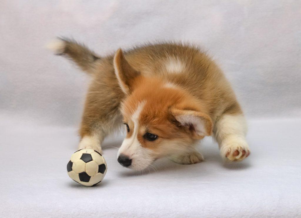 Hundehvalp